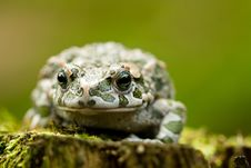 Free Green Toad Royalty Free Stock Photos - 20857178