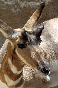 Free Pronghorn Royalty Free Stock Photos - 20857478