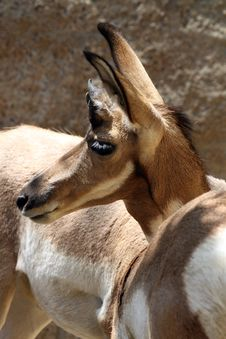 Free Pronghorn Royalty Free Stock Photos - 20857498