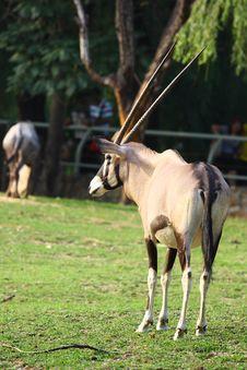 Free Antelope Royalty Free Stock Images - 20857539
