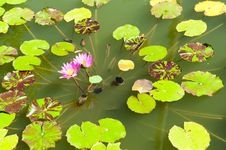 Free Pink Lotus On The Lake Royalty Free Stock Photography - 20858047