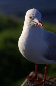 Free Seagull Royalty Free Stock Photos - 20858148