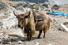 Free Himalayan Yak Royalty Free Stock Photography - 20858277