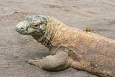 Small Lizard Sitting On A Big Komodo Royalty Free Stock Images