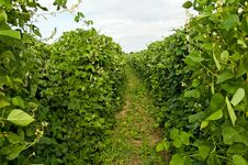 Free Bean Plant Royalty Free Stock Photo - 20859375