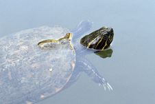 Free Red-eared Slider Stock Photography - 20859452