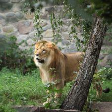 Free Lion Stock Photos - 20859793