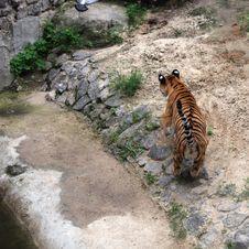 Free Tiger Hunt Stock Photos - 20859813