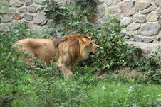 Free Lion Stock Photography - 20859842