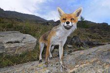Free Red Fox - Vulpes Vulpes Stock Image - 20859861