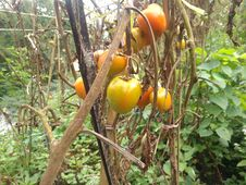 Tomatoes Ready To Harvest, Cianjur, Indonesia - 2021 Stock Photography