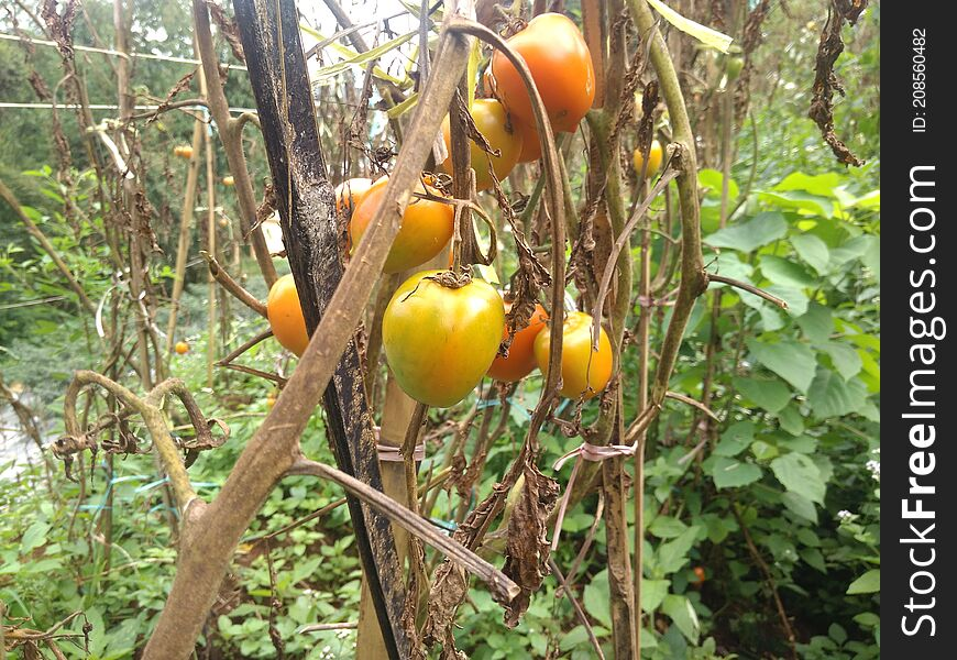 Tomatoes Ready To Harvest, Cianjur, Indonesia - 2021