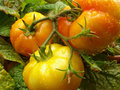 Free Three Tomatoes Royalty Free Stock Image - 20869666