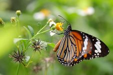 Free Butterfly And Chrysanthemum Stock Photos - 20860313