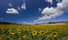 Free Field Of Sunflowers Stock Images - 20860624