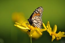 Free Monarch Butterfly Yellow Flower Stock Images - 20863094