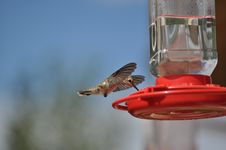 Free Hummingbrid On Feeder Stock Photography - 20864082