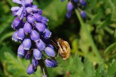 Free Bumblebee Sucks Stock Images - 20864084