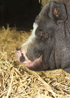 Free Fat Black Pig Portrait Stock Photo - 20864680