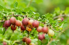 Free Gooseberries Royalty Free Stock Photography - 20864957