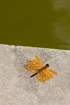 Bright Orange Dragonfly. Stock Image