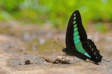 Free Butterfly(Common Bluebottle) Royalty Free Stock Image - 20867176
