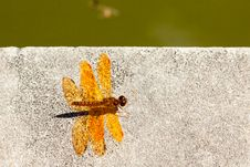 Bright Orange Dragonfly. Royalty Free Stock Photos