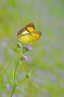 Free Butterfly(The Yellow Orange Tip) Stock Photo - 20867240