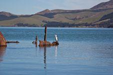 Free New Zealand King Shag Stock Images - 20867354