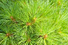 Free Close-up Of A Pine Tree. Royalty Free Stock Photo - 20867475