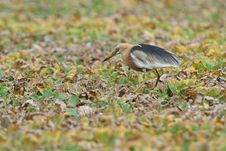 Free Java Pond Heron Royalty Free Stock Image - 20868056
