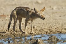 Free Black Backed Jackal Royalty Free Stock Photo - 20868355