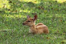 Deer Fawn On Green Grass Royalty Free Stock Photo
