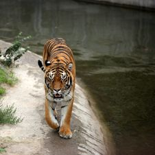 Free Tiger Stock Photos - 20868883