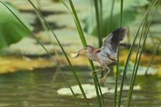 Free Yellow Bittern Flying Royalty Free Stock Images - 20868949