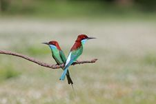 Free Group Of Blue-throated Bee-eater Royalty Free Stock Images - 20869609
