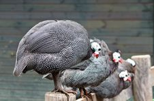 Free Guinea Fowl Royalty Free Stock Image - 20869846