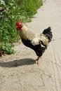 Free Cock Stock Image - 20870951
