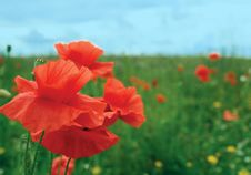 Free Poppies Stock Photography - 20872302