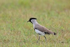 Free River Lapwing Stock Images - 20872564