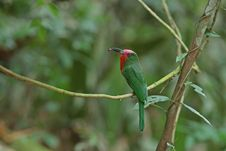 Red-bearded Bee-eater With Prey Royalty Free Stock Photos