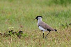 Free River Lapwing Royalty Free Stock Photos - 20872938