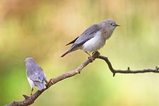 Free Couple Of Chestnut-tailed Starling Royalty Free Stock Photo - 20873145