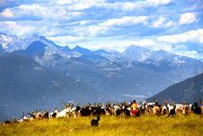 Free Goats Stock Photos - 20876373