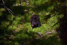 Free Black Bear Stock Images - 20876584