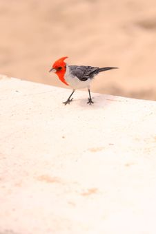 Free Red Crested Cardinal Stock Photography - 20877402
