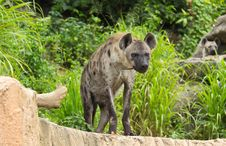 Free Spotted Hyena Royalty Free Stock Photo - 20879035