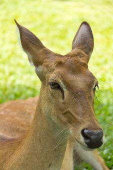 Free Deer In Open Zoo Royalty Free Stock Image - 20879156
