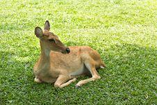Deer In Open Zoo Royalty Free Stock Images