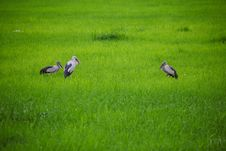 Free Three Egrets In Green Grass Field Stock Image - 20879701